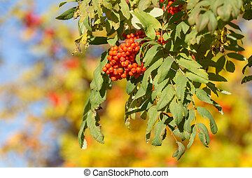 ripe autumn mountain ash - branch of ripe mountain ash in...