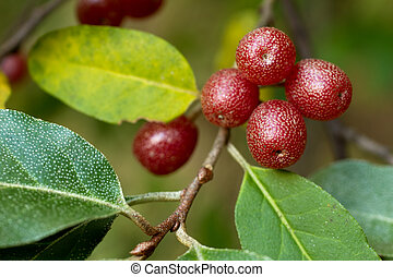 Ripe Autumn Olive Berries (Elaeagnus Umbellata) growing on a...
