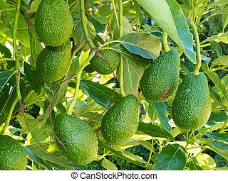 Ripe avocado fruits growing on tree as crop - Closeup of...