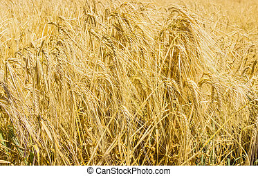 Ripe barley closeup - Spikelets of ripe barley in the field ...