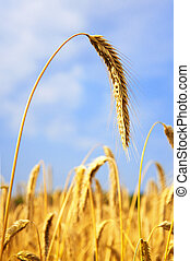 Ripe Barley - Golden ripened Barley, ready to be harvested