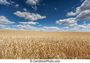 Ripe barley on the field - Ripe barley on field with blue ...