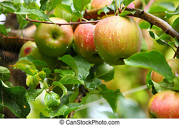 Ripe, beautiful apples on the branches of apple trees