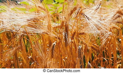 Ripe beautiful spikelets of wheat are fluttering in a wind