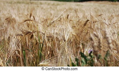 Ripe beautiful spikelets of wheat are fluttering in a wind -...