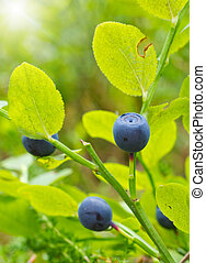 Ripe berries of a bilberry