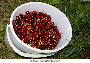 Ripe berries of a sweet cherry