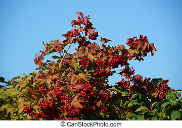 Ripe berries of arrow wood on the branches