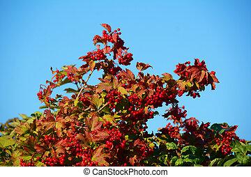 Ripe berries of arrow wood