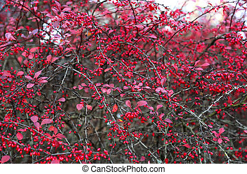 A branches of the ripe berries of barberry