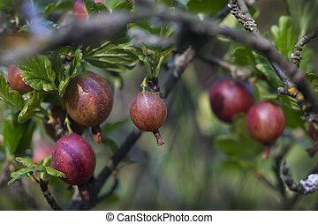 ripe berries of gooseberry on branch