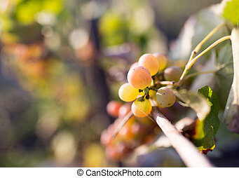 ripe berries of grapes in the garden