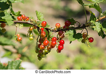 Ripe berries of red currant on a branch in a sunny day