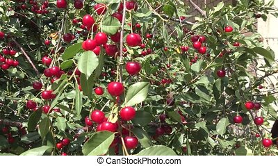 Ripe Berry cherry - Berry cherry came in the garden