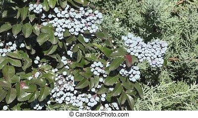 Ripe Berry mahonia in the autumn garden