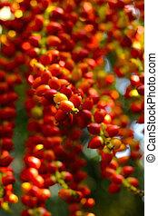 Ripe betel nut red balls - betel palm on tree.