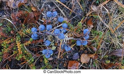 ripe bilberry in the wood in August - Ripe bilberry in wood...