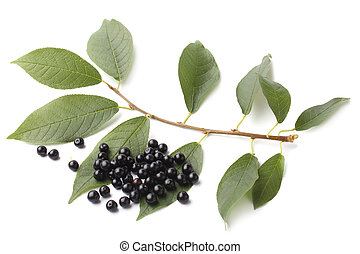 Ripe bird cherry with green leaves