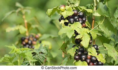 Ripe black currant fruit in the garden