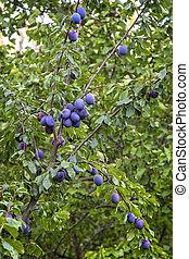 Ripe blue plum on the plum tree