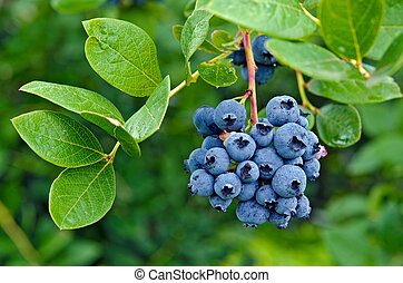 ripe blueberries on bush - Cluster of ripe blueberries on a...