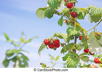 Ripe branch of raspberry on bush in the garden.