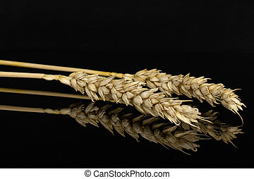 Ripe bread wheat isolated on black glass