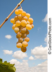 Ripe bunch of grapes against blue sky