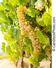 Ripe bunches of grape