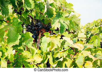 ripe bunches of grapes in the vineyard before harvesting for wine