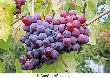 Ripe Bunches of grapes