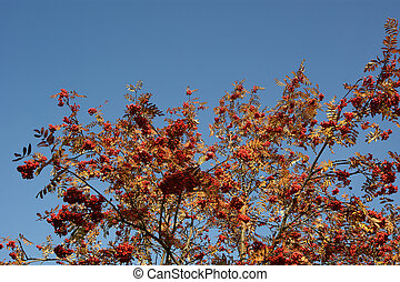 Ripe bunches of red mountain ash against the blue sky