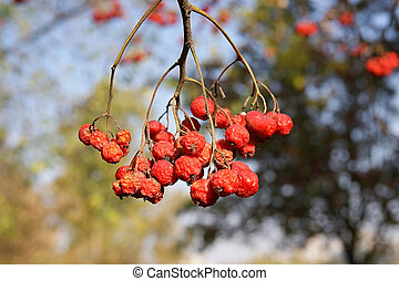 Ripe bunches of red mountain ash in the light of bright sunshine