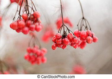 ripe bunches of red viburnum on snow in winter