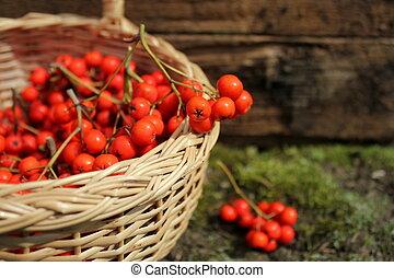 ripe bunches of rowan berries
