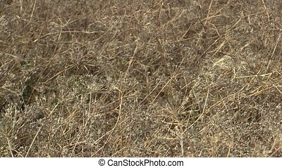 Ripe caraway Carum carvi plant before harvest in the field,...