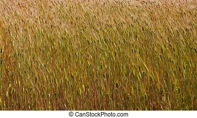 Ripe cereals field - Yellow background with ripe grains of...