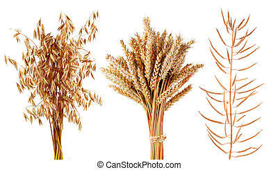 Ripe cereals plants oats, wheat and canola isolated on a ...