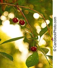 Ripe cherries in the garden on a background of golden bokeh