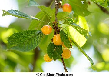 ripe cherries on a tree branch