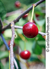 Ripe cherries on the tree in the garden in sunny summer day