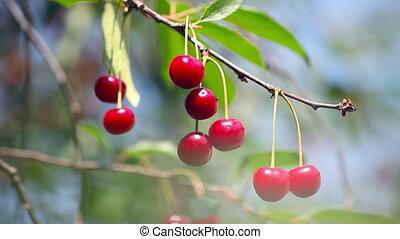 Ripe cherry ; beautiful,ripe cherries are ready for picking...