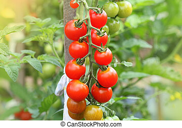 Ripe cherry organic tomatoes in garden ready to harvest