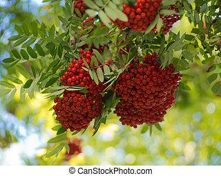 ripe clusters