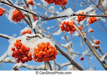 Ripe clusters of red Viburnum on the branches of a tree under the snow.