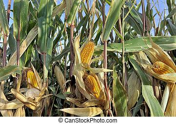 cob in a field