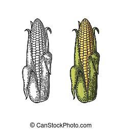 Ripe cob of corn half-open leaves. Vector vintage engraving
