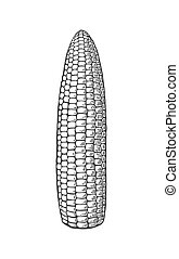 Ripe cob of corn peeled from the leaves. Vector vintage engraving