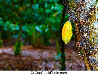 ripe cocoa pod hanging on tree in plantation garden