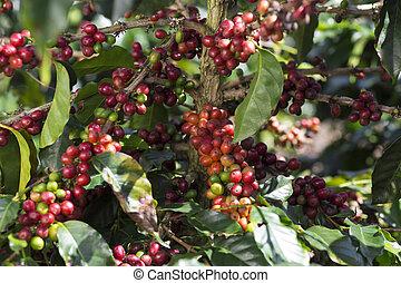 Ripe Coffee Bean Fruit
